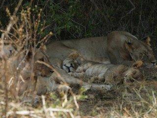 lions-den-sleeping